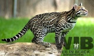 Un esemplare di gattopardo, animale simbolo di Ubuntu 11.11
