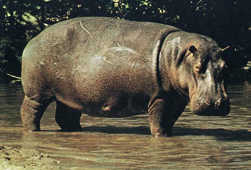 un esamplare di ippopotamo